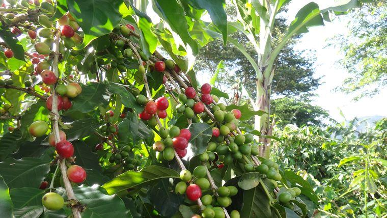 エクアドルのコーヒーの木